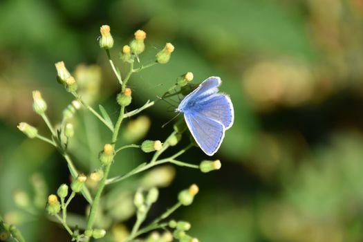 Macro light blue butterfly