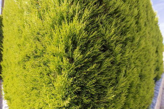 green thuja occidentalis, corner view