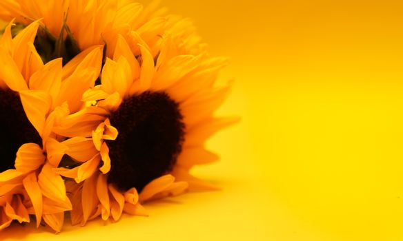 sunflower over yellow background. yellow sunflower petals