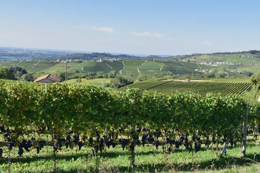 Langhe vineyards, famous for the wine production, Italy.