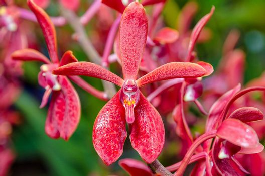 Close-up of red flowers is a beautiful nature of Renanopsis Lena Rowold or Rhynchostylis Orchid on the branch of tree