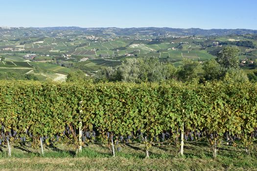 Langhe are famous for Italian wine production, in Piedmont