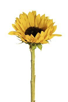 Sunflower Isolated - yellow sunflower over white background