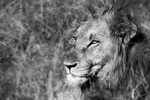 Beautiful wild african lion