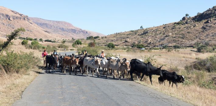 Ranohira, Madagascar on july 30, 2019 - Herd of Zebu walking on the road. Zebu are the working horse of agricultural Madagascar, Ranohira, Madagascar