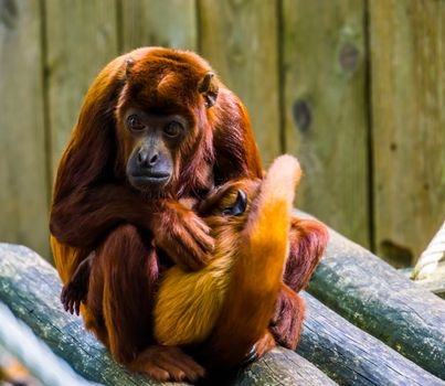coppery titi mother with her infant, monkey cuddling with her baby, Primate behavior