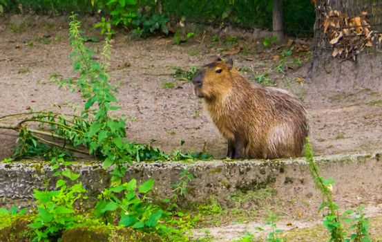 portrait of a capybara, worlds largest cavy specie, Tropical rodent from south America