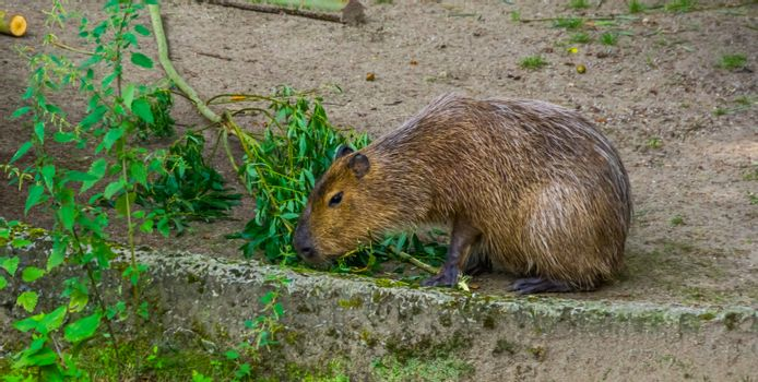 capybara eating leaves from a tree branch, worlds largest rodent specie, tropical cavy from South America