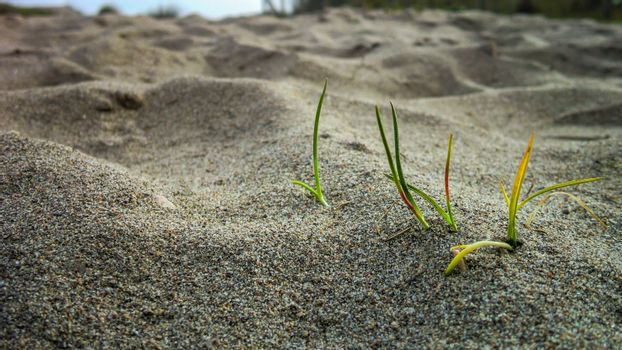 A tuft of grass in the sand