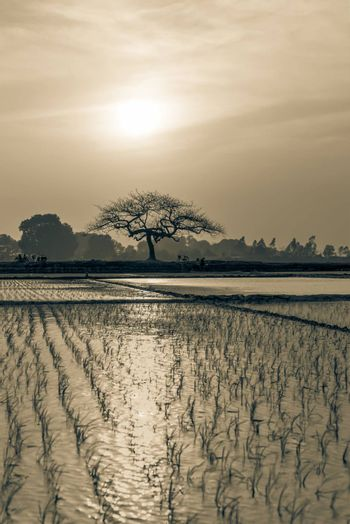 Vintage tone young rice sprouts ready to growing in the rice field in Hanoi, Vietnam. Organic paddy rice farmland at sunset. Terminalia catappa or tropical almond in distance. Agriculture background