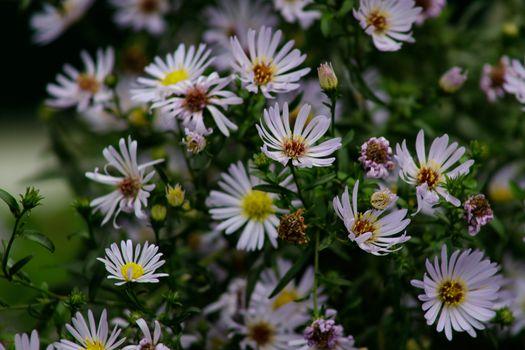 Beautiful perennial plant for rock garden. Aster flowers. Alpine Aster. Decorative garden flowers in the garden. Beautiful garden. Violet flowers, purple flowers.