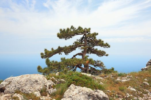 Pine on a peak