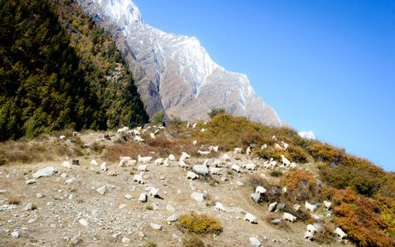 Herd of sheep in lush Himalayas mountain at a distance in summer - Ranikanda meadows, Karcham terrain park, Spiti Valley, Himachal Pradesh, India, Asia Pac. Snow covered Kailash mountain range at far.