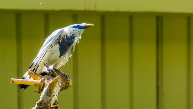 portrait of a bali mynah starling in closeup, pure white bird, critically endangered animal specie from indonesia