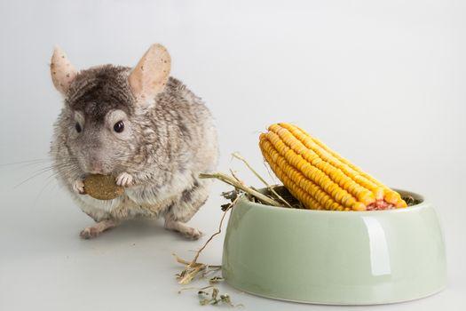Chinchilla rodent domestic pet animal