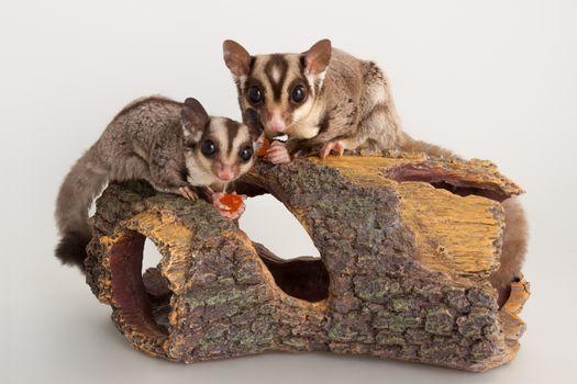 Domestic sugar glider rodent domestic animal