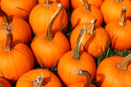 The picture shows many halloween pumpkins in the garden