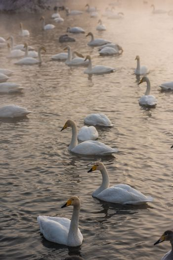Whooper swans swimming in the lake