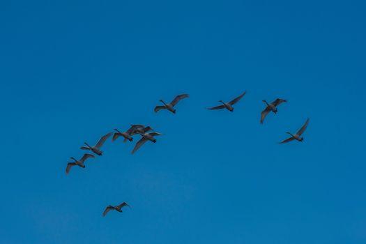 Flying whooper swans