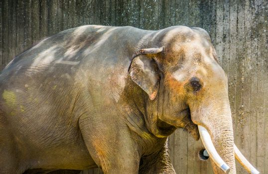 closeup portrait of a Asian elephant with sawn tusks, popular zoo animal