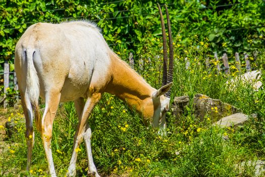 portrait of a grazing scimitar oryx, animal specie that is extinct in the wild, antelope with long horns