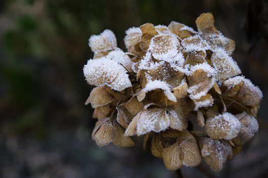 dry hortensia in the garden covered with frost close up frosty hydrangea or hortensia flower