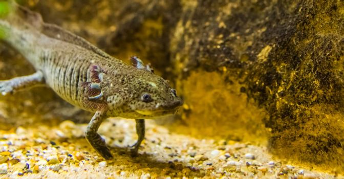 closeup of a grey axolotl, mexican walking fish, tropical underwater amphibian from mexico, critically endangered animal specie