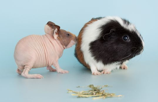 guinea pig rodent domestic animal