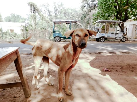 The Common Indian pariah stray dog also called Pure Breeds Native dog or Desi street Dog in the road street of Kolkata, India, South Asia. Close up portrait. A loyal canine friend. Looking at camera.