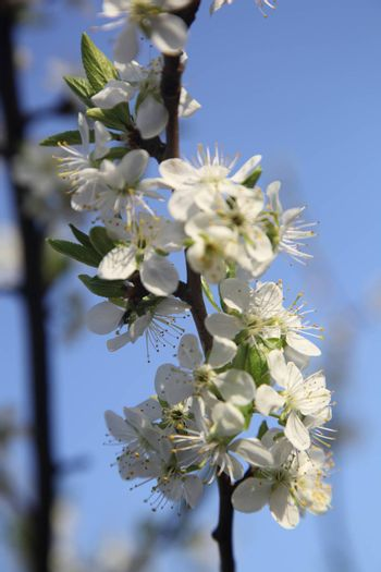 blooming cherry on the background of the sky