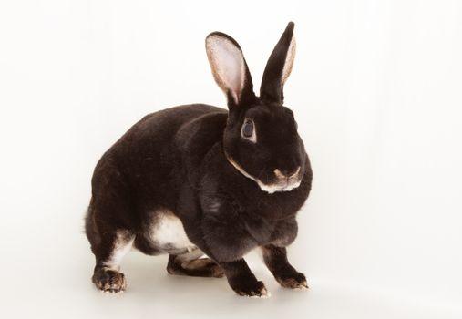 Nice black otter rabbit rodent pet