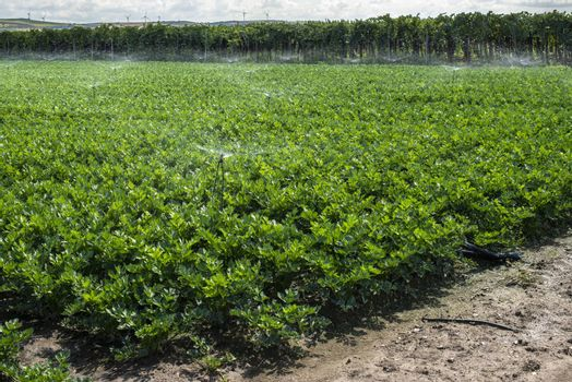 Plantations with celery in the field. Industrial growing celery in rows. Sunny day.