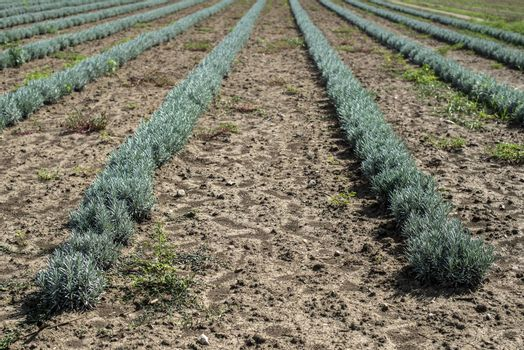 Lavandula small green plants. Newly planted lavandula. Industrialy growing lavender in rows. Small green bushes.