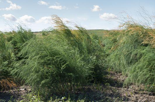 Growing asparagus in farm. Big asparagus plantation in Italy. Green bushes of asparagus