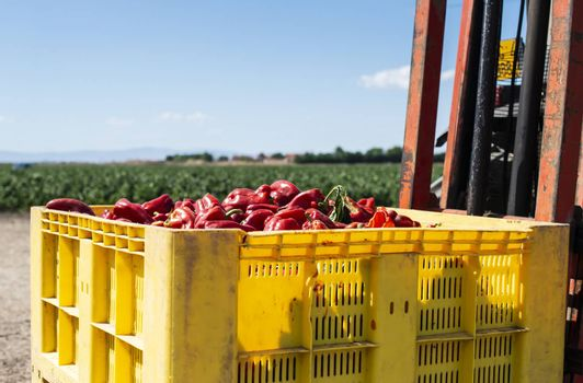 Mature big red peppers in crate ready for transport from the farm. Close-up peppers and agricultural land.
