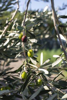 Ripe olives on branch. Sunlight. Close up olives on tree.