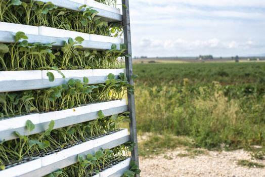 Seedlings in packages placed on shelving in the field. Concept for planting new plants on agriculture field.