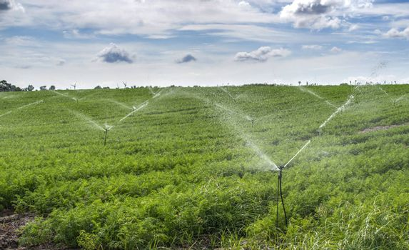Watering plantation with carrots. Irrigation sprinklers in big carrots farm. Blue sky.
