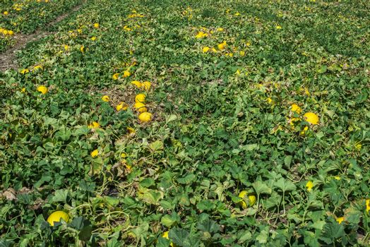 Melons in the field. Sunny day. Plantation with yellow melons in Italy. Big farm with melons.