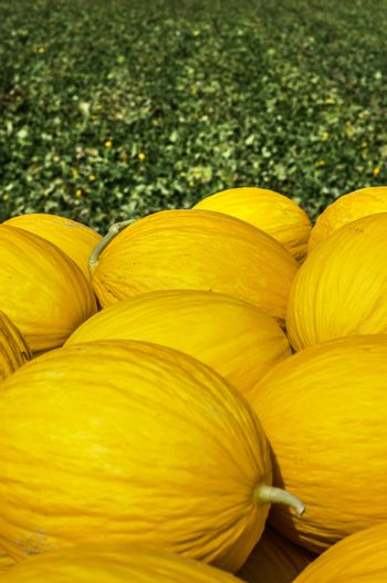 Canary yellow melons from the farm. Sunny day. Pile of melons in the plantation.