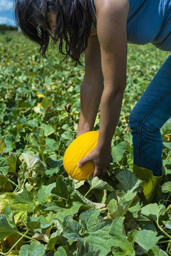 Harvest canary melons. Sunny day. Picking yellow melons in plantation. Woman hold melon in a big farm.