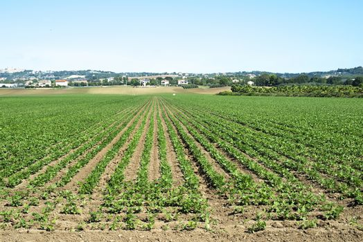 Legumes plantation. Soybean plants in rows. Sunny day.