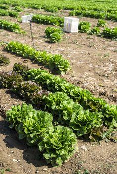 Big ripe lettuce in outdoor industrial farm. Growing lettuce in soil. Picking lettuce in plantation. White crates.