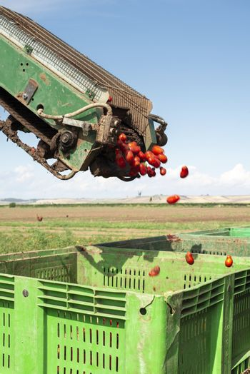 Machine with transport line for picking tomatoes on the field. Tractor harvester harvest tomatoes and load in crates. Automatization agriculture concept with tomatoes.