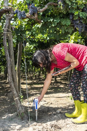 Farmer measures soil in vineyard. Digital Device for measuring soil and tablet. Red grapes.