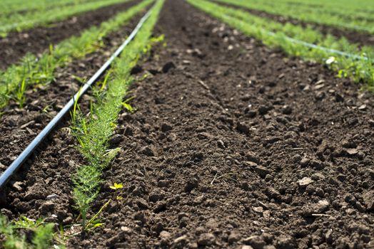 Fennel plantation. Growing fennel in big industrial farm.
