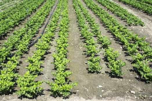 Growing Celery On Plantation. Celery plants in rows. Big celary farm.