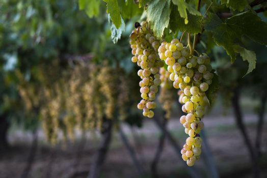 Sweet dessert grapes. Sunlight on grapes for eat. Close up