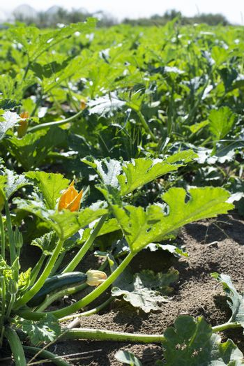 Zucchini in industrial farm. Sunny day on the field. Growing zucchini.