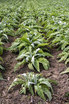 Artichoke industrial plantation in rows. Growing artichoke in a big farm.